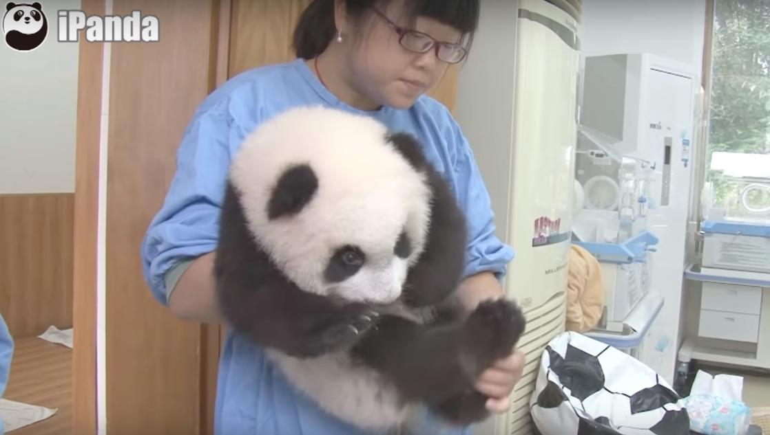The Happiest Job in the World Involves Pandas