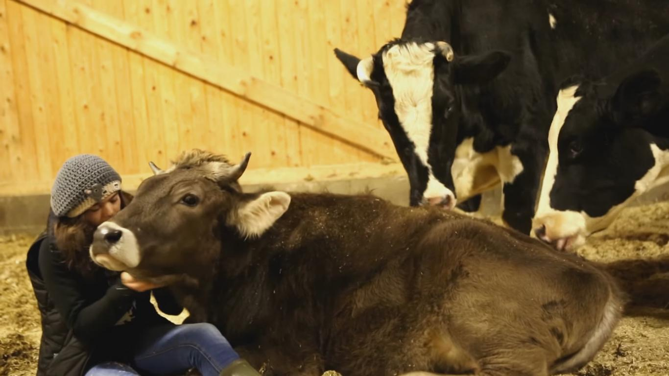 Watching These Cows Being Pet Is Weirdly Relaxing