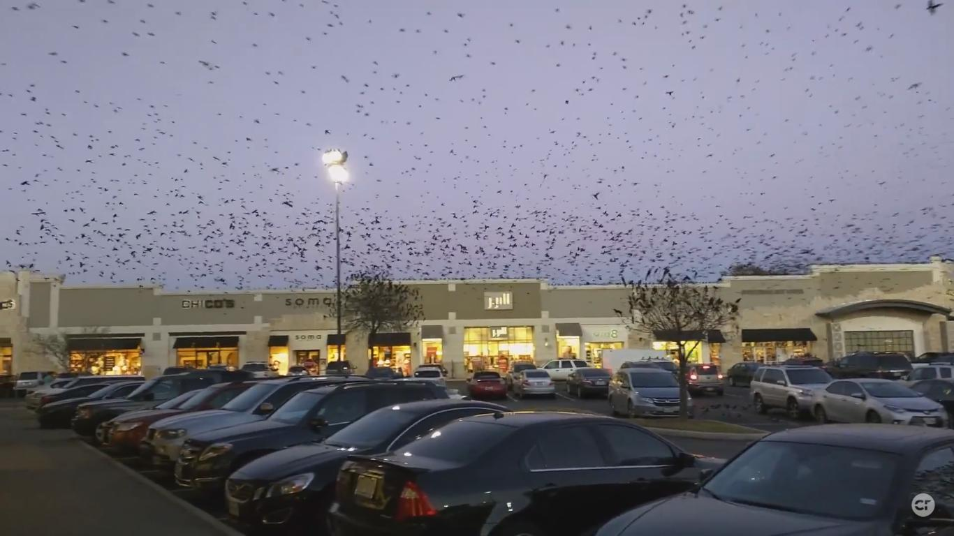 Several Thousand Birds Showed up in San Antonio Last Night