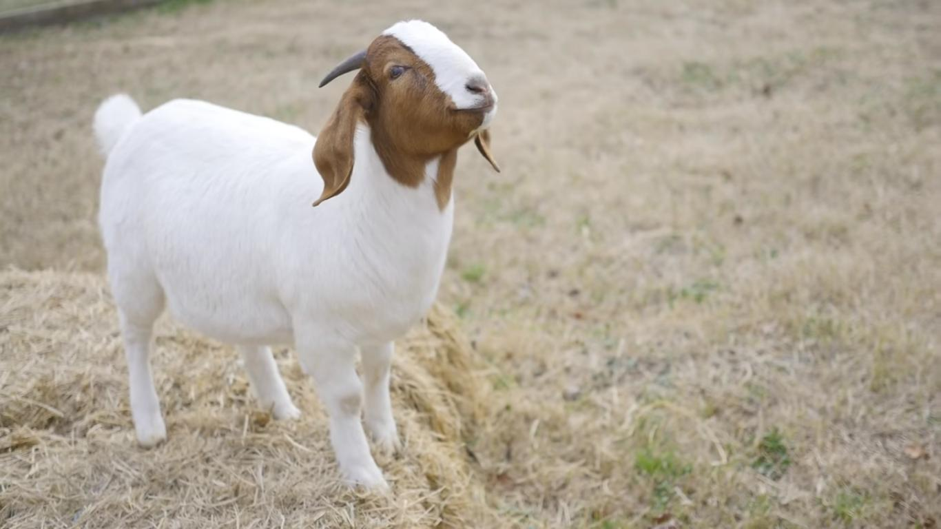 This Blind Goat Made a Friend and Her Life Changed for the Best