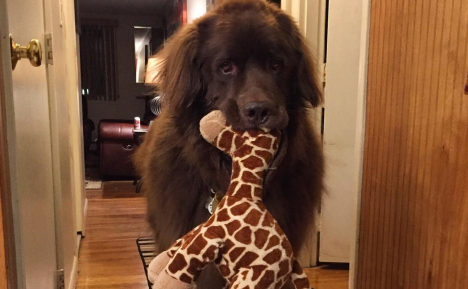 [Photo] Dog Walking With a Giraffe Plush in His Mouth