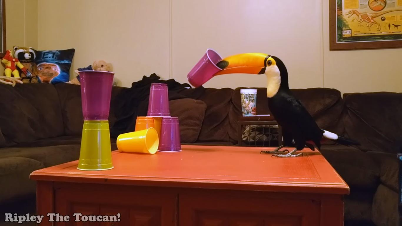 Toucan Destroys Towers of Plastic Cups