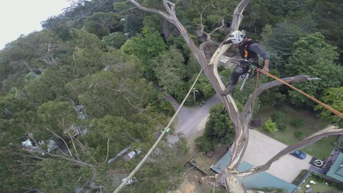 Amazing Footage of an Old Tree Being Taken Down