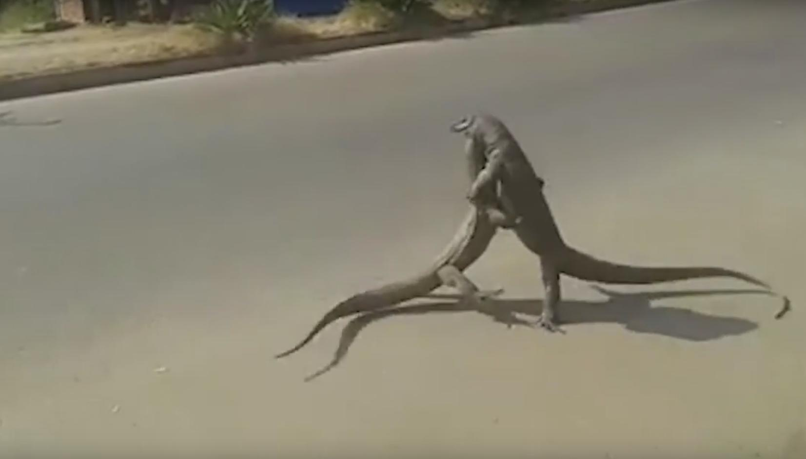 Hilarious Commentary About Two Giant Lizards Fighting