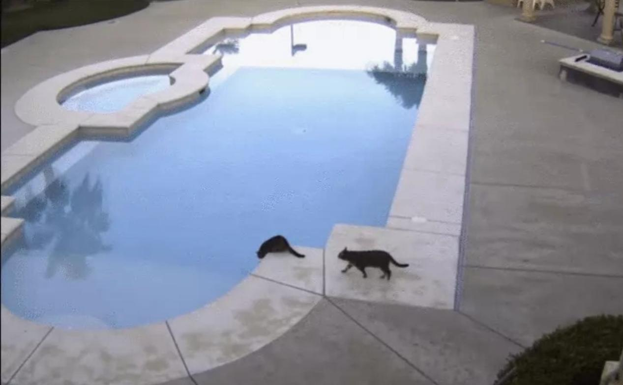 [GIF] Cat Scares Another Cat into Jumping into the Pool