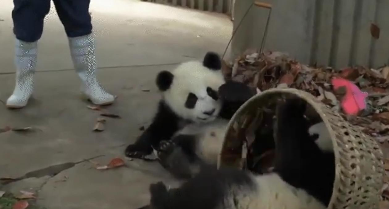 [GIF] These Pandas Really Love Their Basket