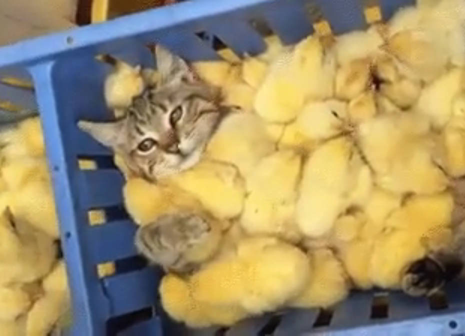 [GIF] Cat Sleeping in the Middle of a Pool of Chicks