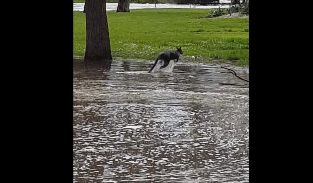 Kangaroo Swims out of a Flooded Area in Australia