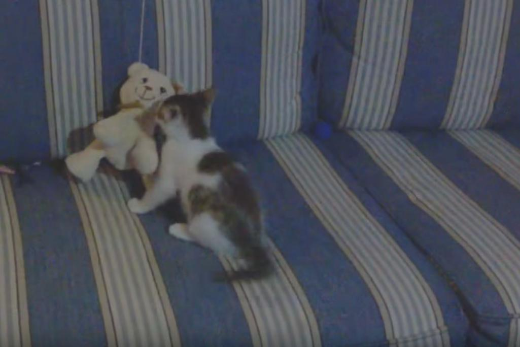 Small Kitten Wrestles Teddy Bear