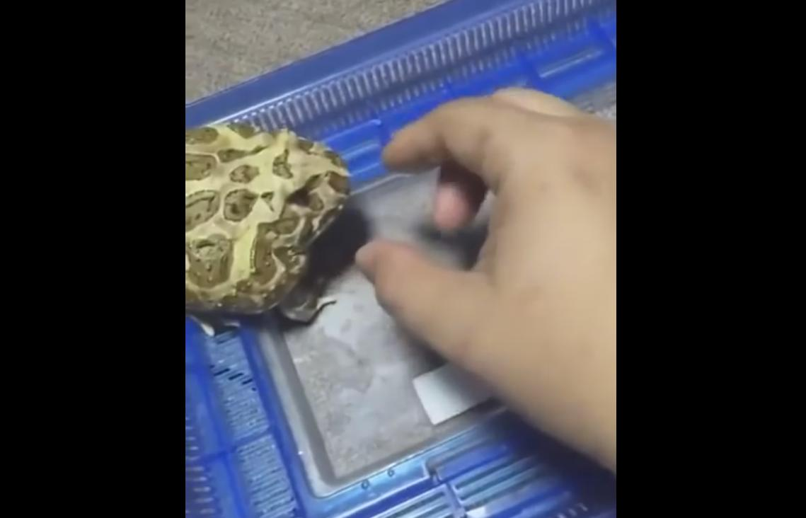 This Frog Really Don't Like Being Touched